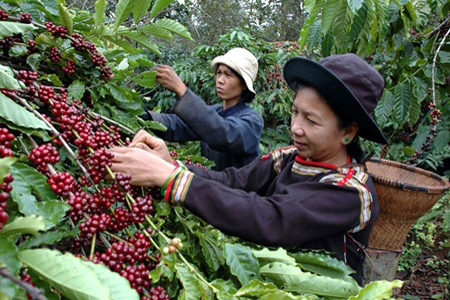 Coffee plantations in Buon Me Thuot
